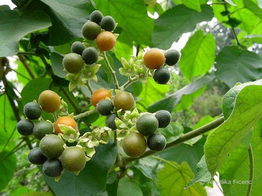 Solanum abutiloides - Zwergbaumtomate, reifende Früchte