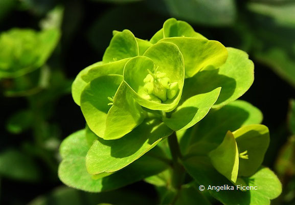 Euphorbia amygdaloides subsp. robbiae - Griffiths Wolfsmilch
