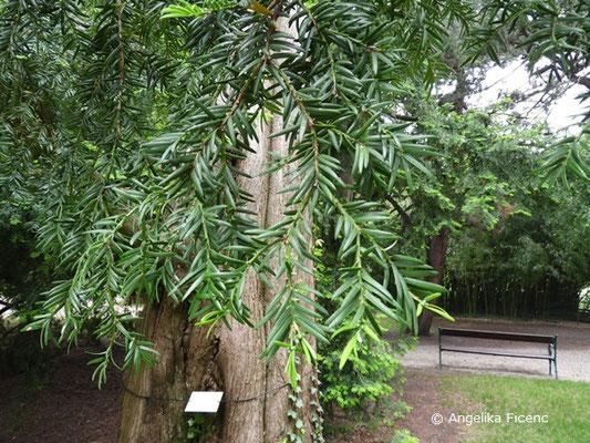 Metasequoia glyptostroboides - Chinesisches Rotholz, Nadeln