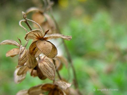 Helianthemum ovatum - Trübgrünes Sonnenröschen