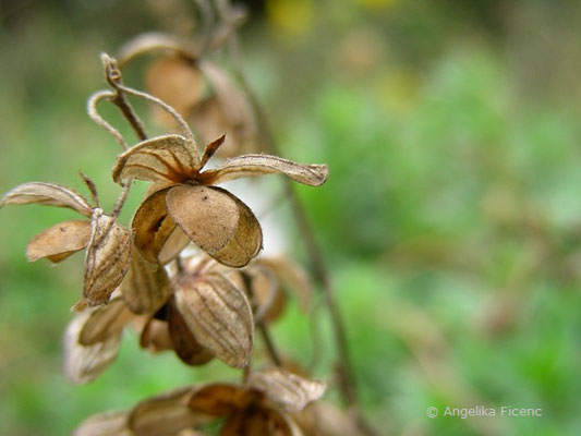 Helianthemum ovatum - Trübgrünes Sonnenröschen  © Mag. Angelika Ficenc