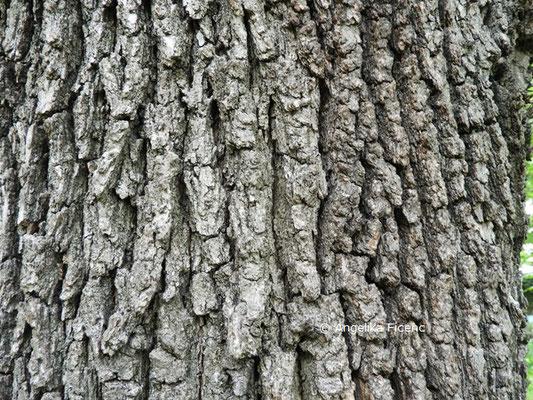 Quercus pubescens    © Mag. Angelika Ficenc