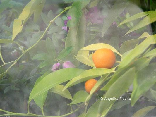 Citrus swinglei  © Mag. Angelika Ficenc