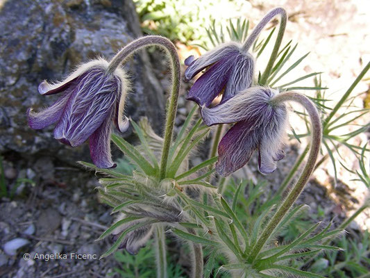 Pulsatilla pratensis nigrans  © Mag. Angelika Ficenc