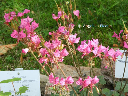 Pelargonium endlicherianum © Mag. Angelika Ficenc