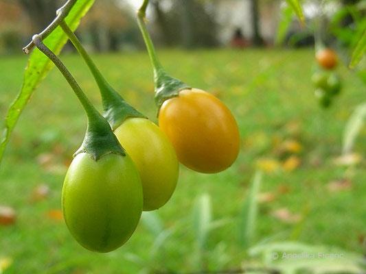 Solanum laciniatum - Großer Känguruapfel, unterschiedliche Fruchtstadien