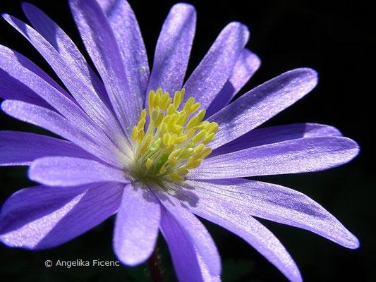 Anemone blanda - Frühlingsanemone
