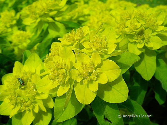 Euphorbia polychroma - Vielfarben-Wolfsmilch  © Mag. Angelika Ficenc