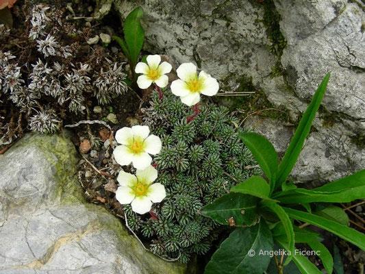 Saxifraga burseriana - Burses Steinbrech  © Mag. Angelika Ficenc