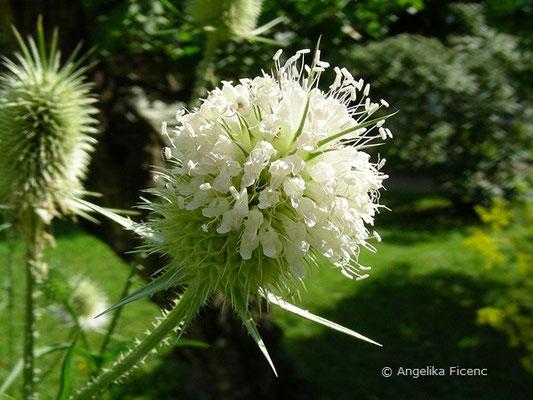 Dipsacus laciniata - Schlitzblättrige Karde