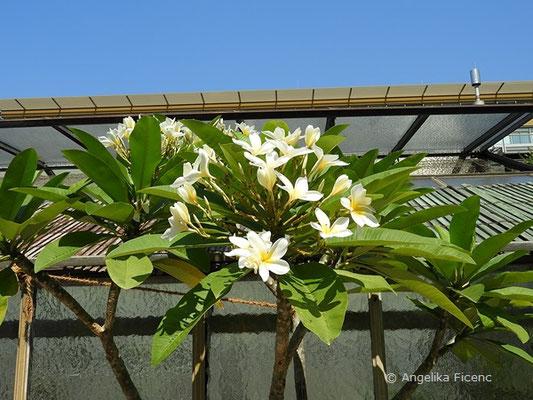 Plumeria alba, Blütenstand