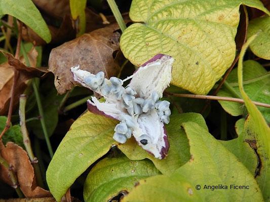 Passiflora capsularis - Geöffnete Frucht mit Samen, Aufsicht