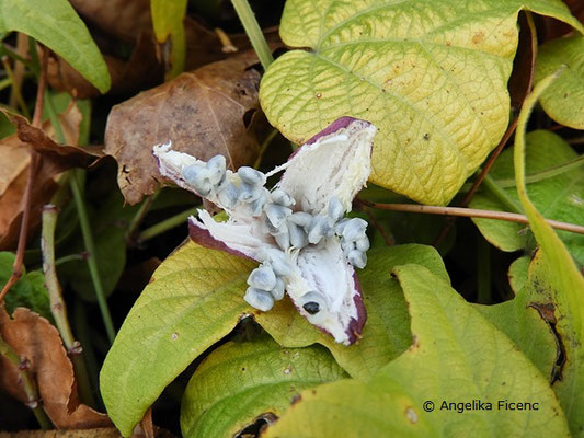 Passiflora capsularis - Geöffnete Frucht mit Samen,   © Mag. Angelika Ficenc