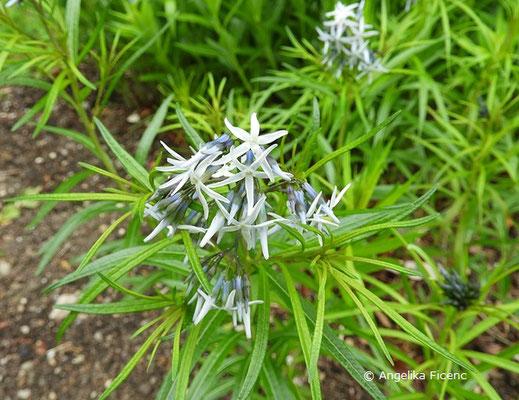 Amsonia hubrichtii - Amsonie, Blütenstand