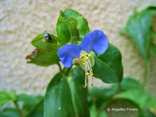 Commelina communis, Tagblume, Blüte