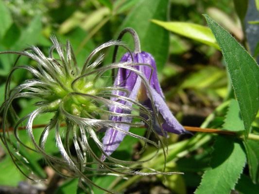 Clematis integrifolia - Ganzblatt Waldrebe, Blüte und Frucht