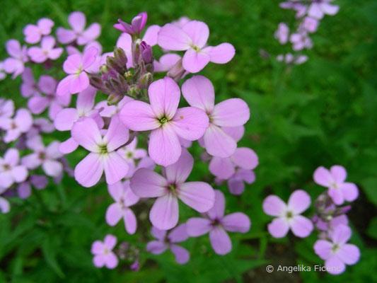 Hesperis matronalis - Garten Nachtviole  © Mag. Angelika Ficenc