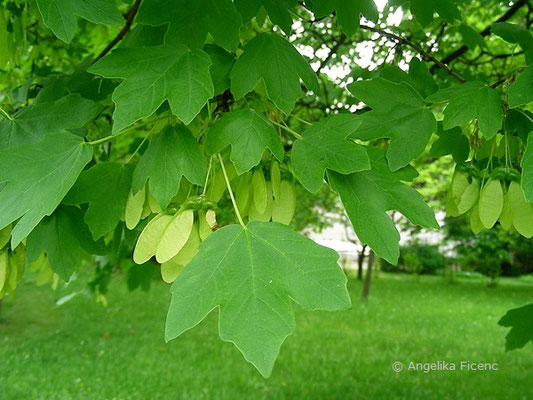 Acer opulus ssp. obtusatum cf. - Bosnischer Ahorn, Laubblätter