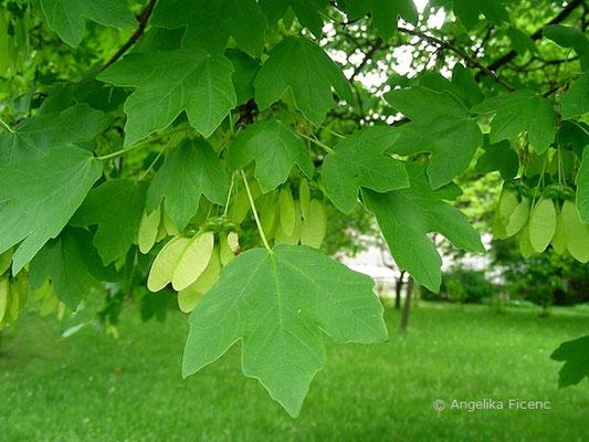 Acer opulus ssp. obtusatum cf. - Bosnischer Ahorn, Laubblätter      © Mag. Angelika Ficenc