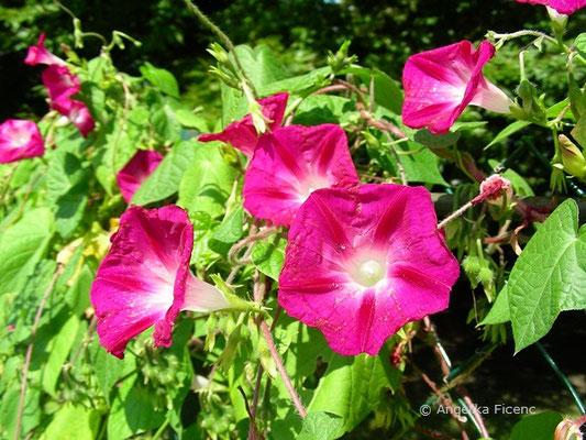 Ipomea purpurea - Purpur Prunkwinde    © Mag. Angelika Ficenc