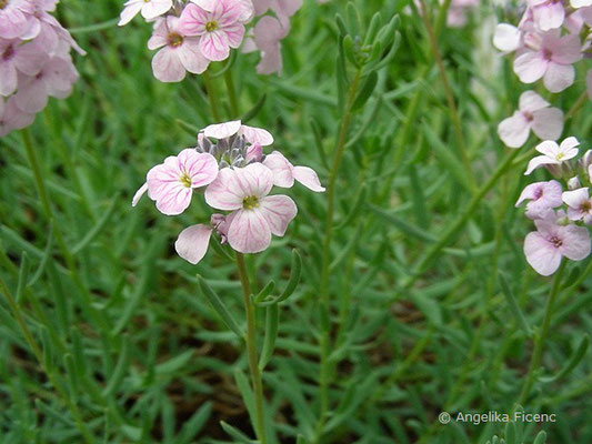 Aethionema grandiflora   © Mag. Angelika Ficenc