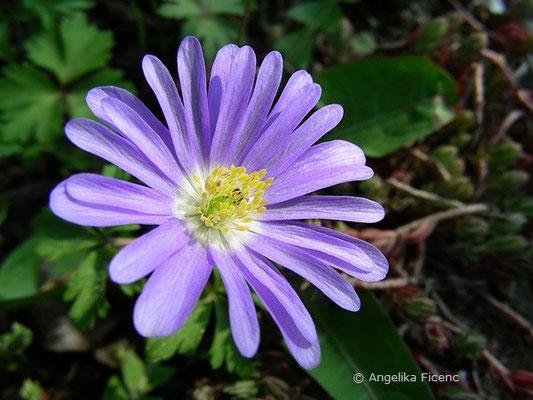 Anemone blanda - Frühlingsanemone  © Mag. Angelika Ficenc