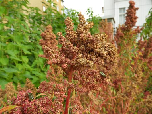 Chenopodium quinoa  © Mag. Angelika Ficenc