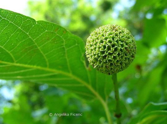 Cephalanthus occidentalis - Button Busch, Fruchtstand unreif
