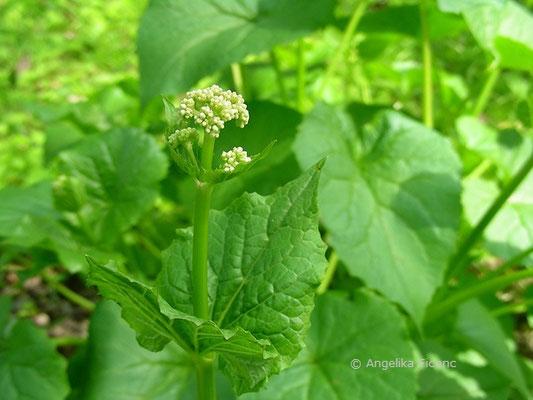 Valeriana allerifolia, Knospen