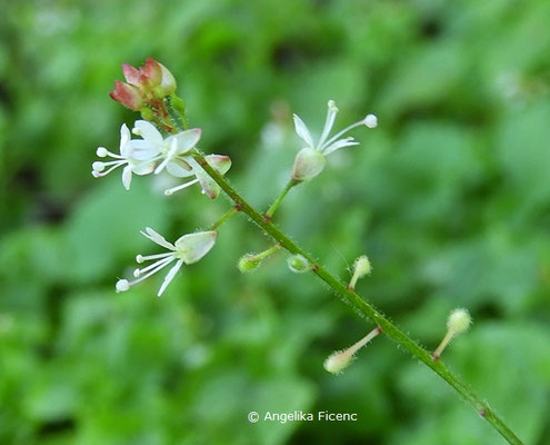 Circaea alpina  © Mag. Angelika Ficenc