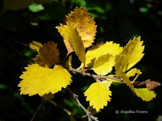 Betula humilis - Strauch Birke  © Mag. Angelika Ficenc