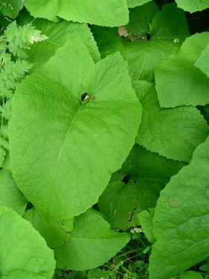 Cicerbita macrophyllum - Großblättriger Milchlattich, Laubblätter  © Mag. Angelika Ficenc