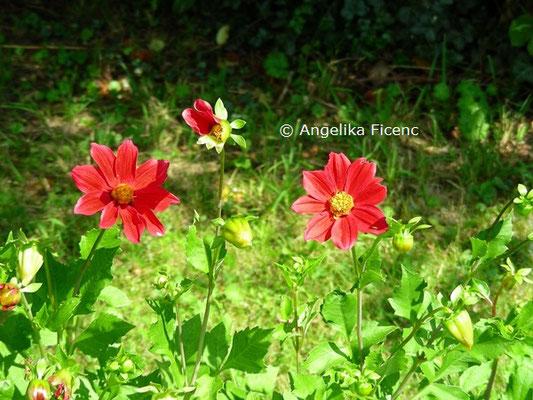 Dahlia pinnata  © Mag. Angelika Ficenc