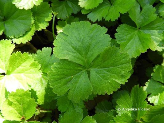 Waldsteinia ternata - Dreiblatt Waldsteinie, Laubblätter