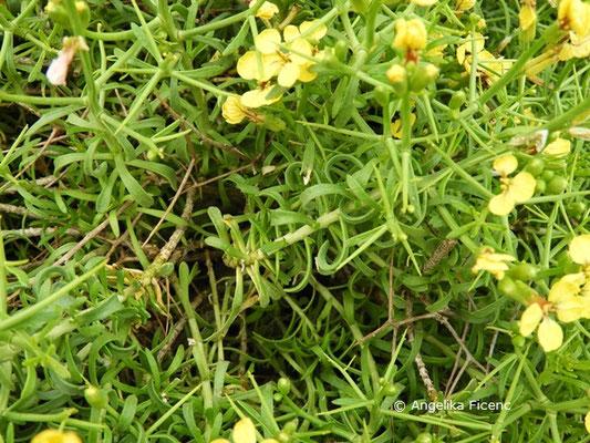 Vella spinosa - Blätter  © Mag. Angelika Ficenc