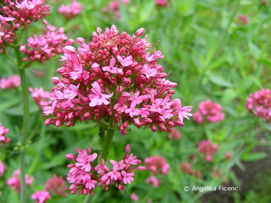 Kentranthus ruber - Spornblume  © Mag. Angelika Ficenc