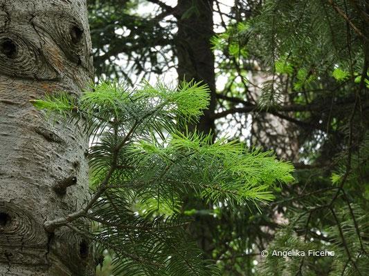 Abies concolor - Colorado Tanne, © Mag. Angelika Ficenc