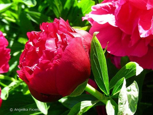 Dunkelrote Pfingstrose, sich öffnende Blüte