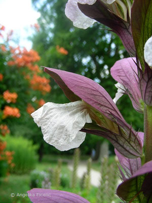 Acanthus mollis - Wahrer Bärenklau,  Blüten