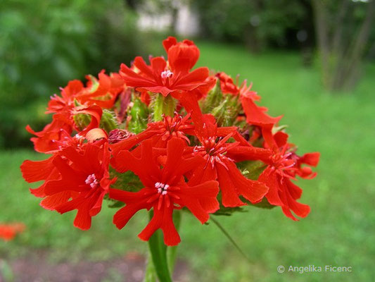 Lychnis calcedonia - Brennende Liebe  © Mag. Angelika Ficenc