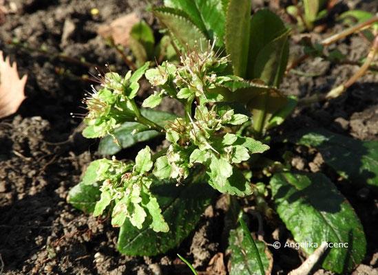 Chrysoplenium macrophylla - Milzkrauz  © Mag. Angelika Ficenc