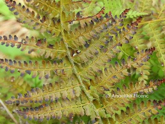 Polystichum setiferum  © Mag. Angelika Ficenc