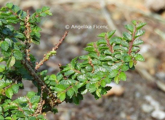 Ulmus parvifolia © Mag. Angelika Ficenc