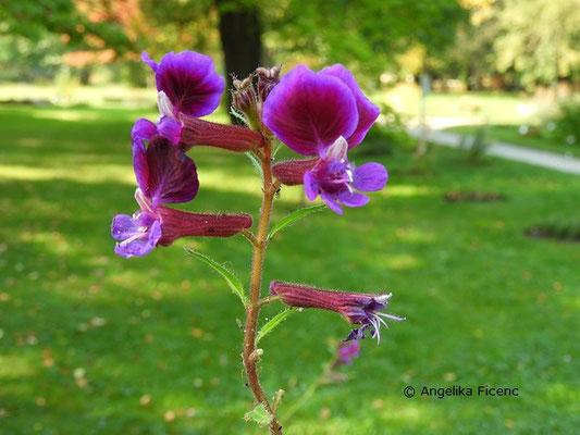 Cuphea procumbens, Blütenstand  © Mag. Angelika Ficenc
