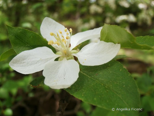 Malus sylvestris weiß - Wildapfel  © Mag. Angelika Ficenc