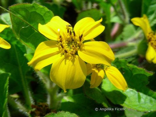 Chrysogonum virginianum - Goldkörbchen  © Mag. Angelika Ficenc