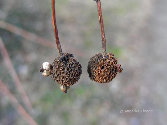 Cephalanthus occidentalis - Button Busch, Fruchtstand  reif