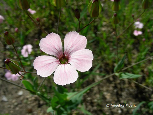 Vaccaria hispanica, Einzelblüte in Aufsicht