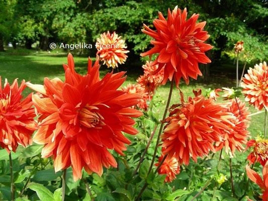 Dahlia x hortensis Vulkan © Mag. Angelika Ficenc