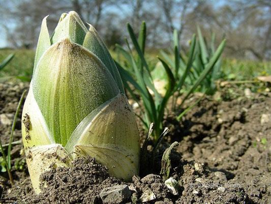 Eremurus hinalaicus - Himalaja-Steppenkerze, Jungpflanze